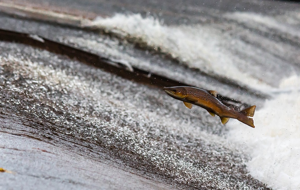 Propiedades del salmón chileno, estudio de Yoshifumi Nishida